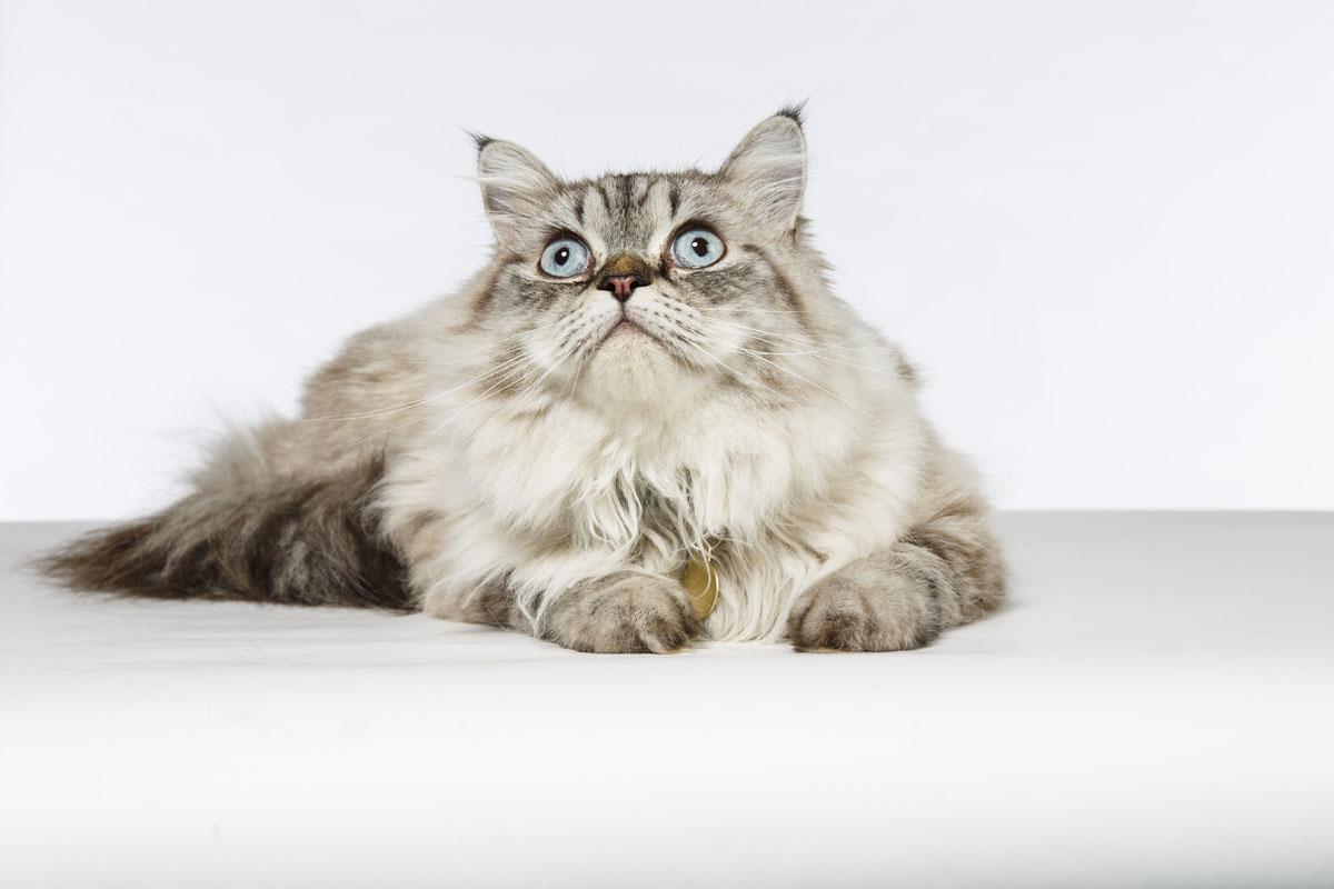 Himalayan-cat-Leo-4058